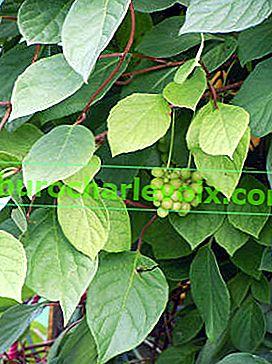 Schisandra chinensis - помощ от природата