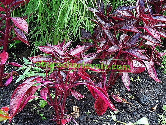 Ирезин - растение с прякор Бифтек