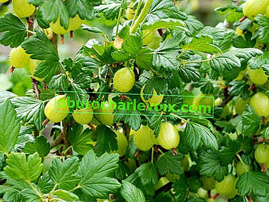 Как да засаждаме цариградско грозде правилно