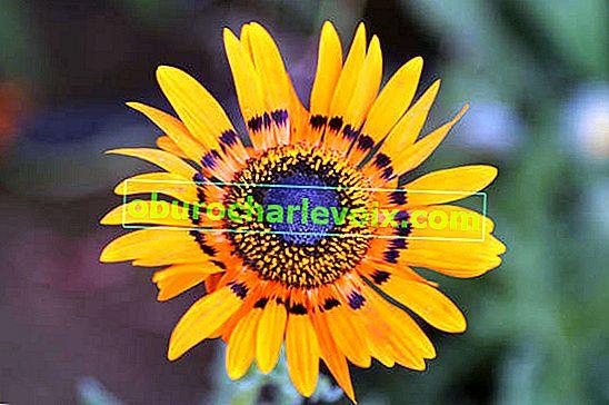 Arctotis великолепен или великолепен венидий