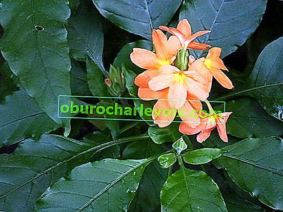 Кросандра с форма на фуния - цвете-фойерверки