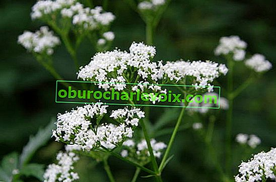 Valeriana officinalis (Valeriana officinalis)