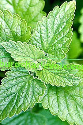 Коча билка: отглеждане и събиране на зеленина