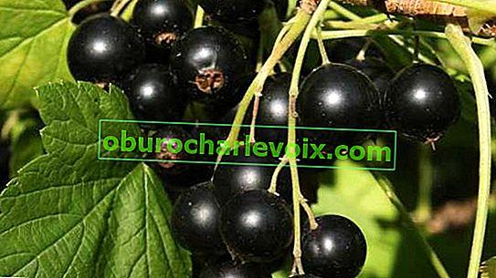 Einige praktische Tipps zum Anbau von schwarzen Johannisbeeren