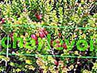 За възможността за отглеждане на американски едроплодни боровинки у нас