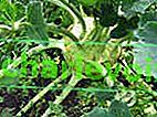 Колраби е идеалният зеленчук за градинаря