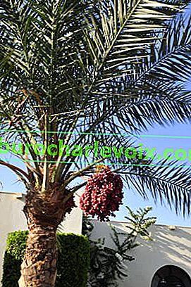 Как да отглеждаме финикова палма от семена