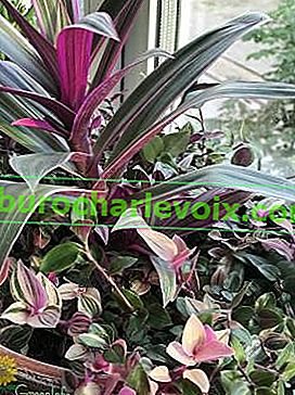 Rheo spathacea (Rhoeo spathacea) mit Tradescantia