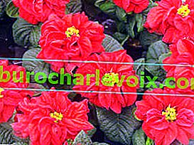 Poinsettia Winterrose Red