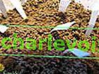 Lithops z nasion - ładne okruchy