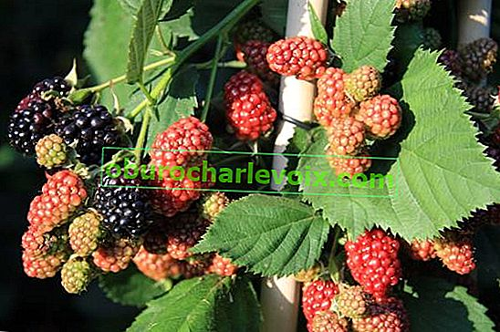 Blackberry Thornfree (dornlos)