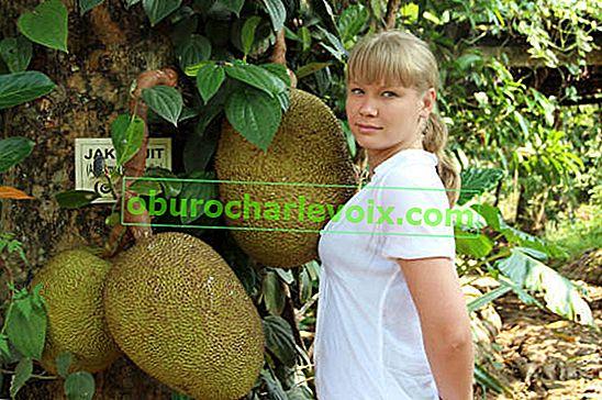 Jackfrucht ist der Champion der Früchte, die auf Bäumen wachsen