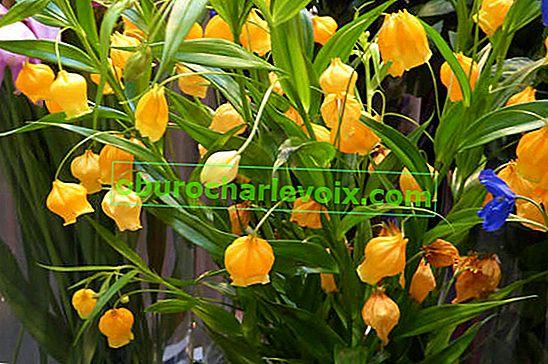Sandersonia Orange - vánoční zvonky