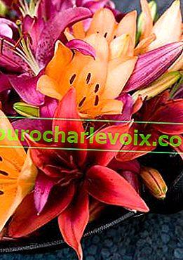 Lilien für einen Strauß, geruchlos und Pollen