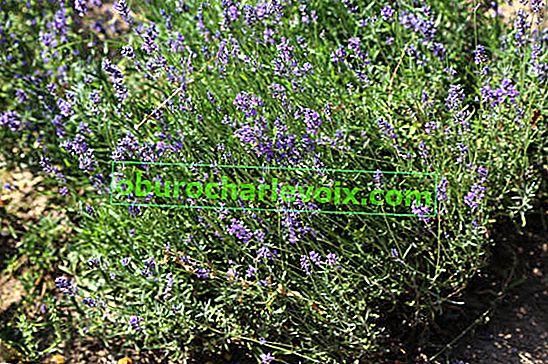 Ätherisches Lavendelöl: Eigenschaften und Verwendung