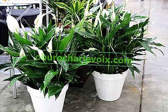 Spathiphyllum: wie man ein weißes Segel züchtet