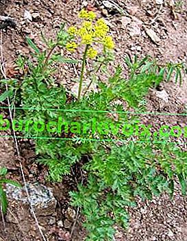 Karotten - das Mädchen aus dem Kerker in Kräutermedizin