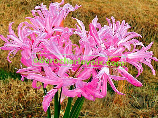 Nerina ist eine helle Dekoration des südlichen Herbstes