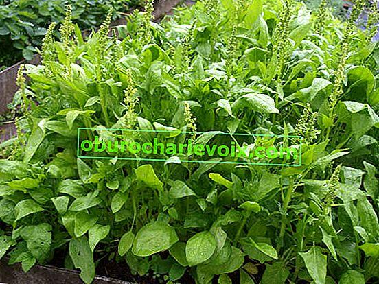 Спаначена градина: отглеждане, сортове