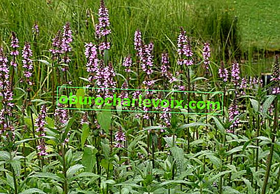 Sumpfjagd (Stachys palustris)