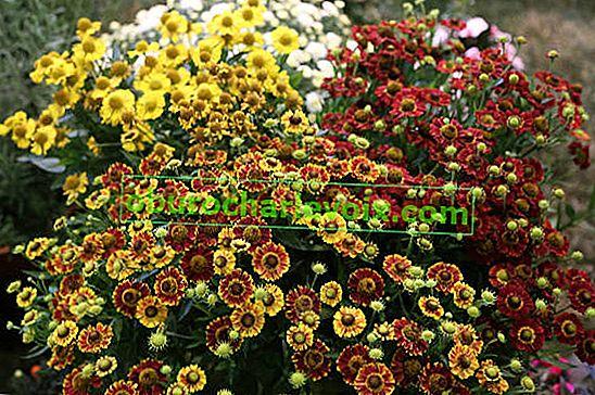 Гелениуми - слънчеви цветя
