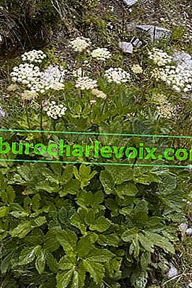 Nasturtium adorneum - главен корен от Алпите