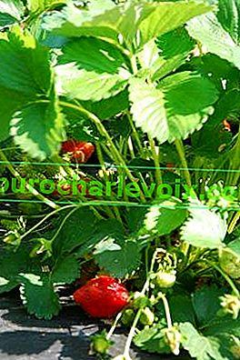 Защо по ягодите имаше малко плодове?