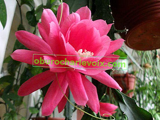 Епикактус - орхидеи кактуси (хибридни епифилуми)