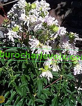 Лечебен сапун (Saponaria officinalis)