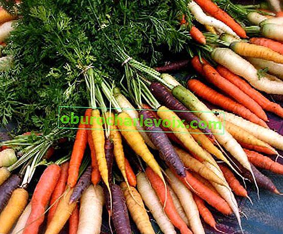 Výběr odrůd mrkve