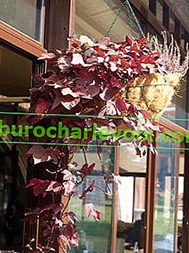 Sladký brambor Morning Glory - dekorativní zelenina na nádoby a květinové záhony