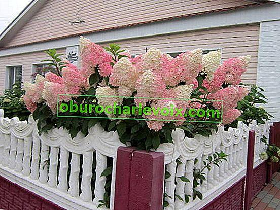 Hydrangea paniculata - květina, co potřebujete