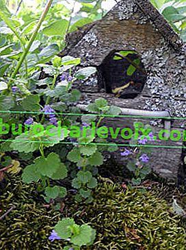 Ivy budra: léčivé a užitečné vlastnosti