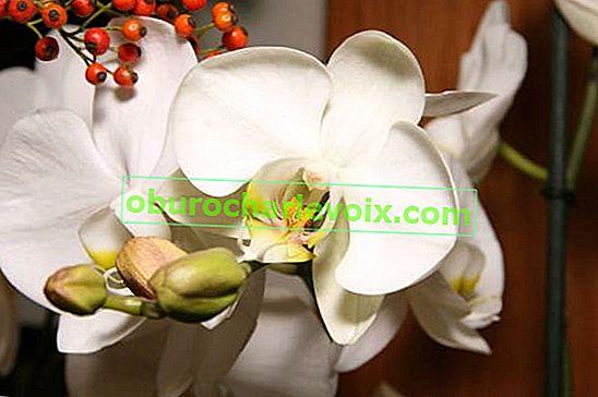 Häufig gestellte Fragen zur Phalaenopsis-Pflege (FAQs)