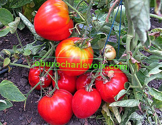 Die richtigen Tomaten und Paprika