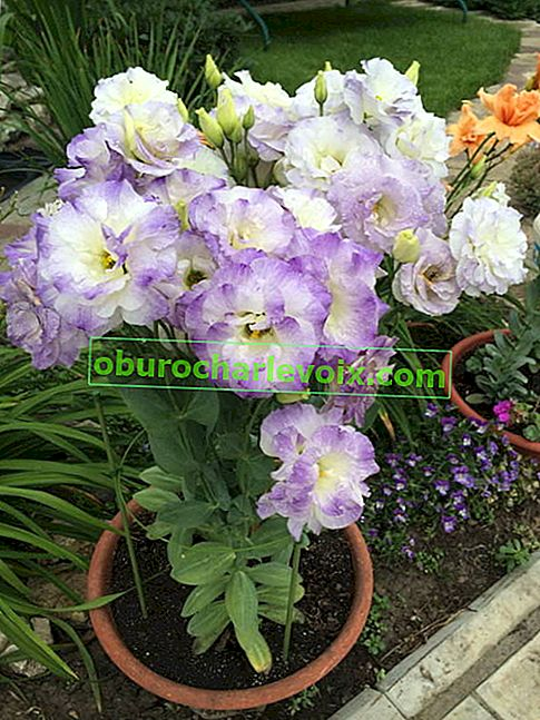 Eustoma Grandiflorum Blue Blush