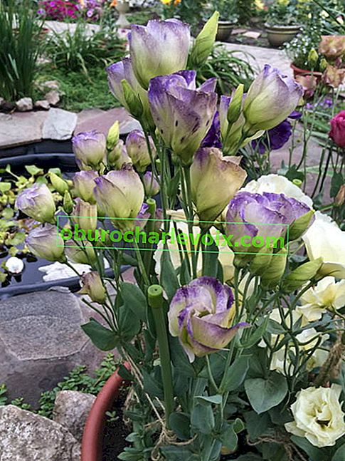 Eustoma grandiflorum (Eustoma grandiflorum) Piccolo Nordlichter