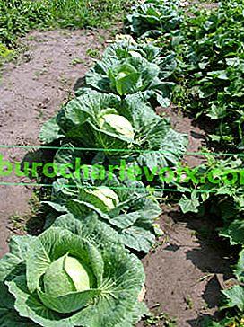 Засяване на бяло зеле и грижи за разсад