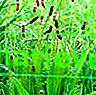 Захаросан живовляк цъфти и листа