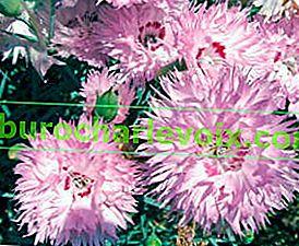 Nelke - eine freudige Blume