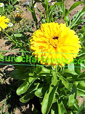 Calendula officinalis Yellow Gitana
