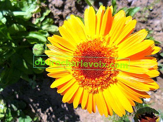 Calendula officinalis: Zusammensetzung und Anwendung