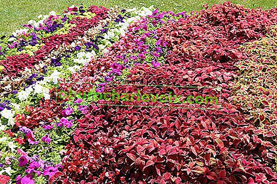 Coleus-Hybride im Garten