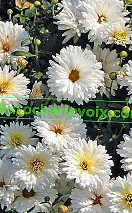 Neue Sorten koreanischer Chrysanthemen