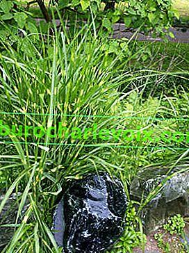 Miscanthus - großes asiatisches Getreide