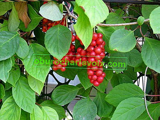 Schisandra chinensis - зрънцето на жизнеността
