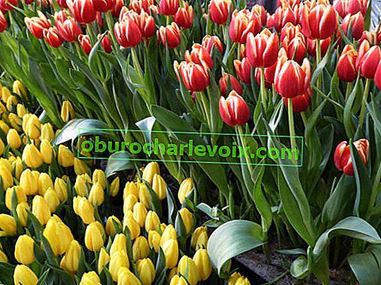 Nucené tulipány: Důvody selhání