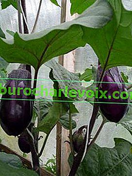 Roubování lilku na rajče
