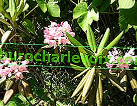 Degron Rhododendron (Rhododendron degronianum)