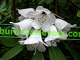 Dickhaariger Rhododendron (Rhododendron pachytrichum)